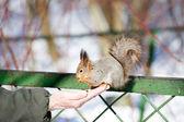松鼠吃 — 图库照片