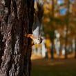 Squirrel sitting on the tree — Stock Photo #33581773