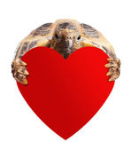 Turtle with heart on white. — Stock Photo