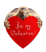 Turtle with heart on white — Stock Photo