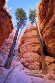 Bryce Canyon trees — Stock Photo