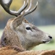 Deer in alert — Stock Photo