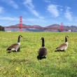 Gooses of bridge — Stock Photo #15327963