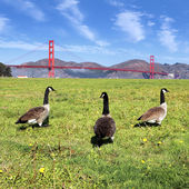 Gooses of the bridge — Stock Photo