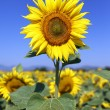 Sunflower field in blue sky — Stock Photo