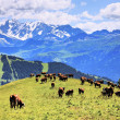 Alpine cows — Stock Photo #15726161