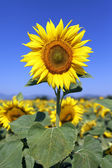 Sunflower field in blue sky — Stockfoto