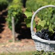 Bottle of wine and grappes in basket — ストック写真