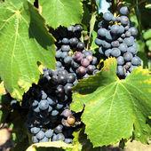 Some mature grape-vine — Foto Stock