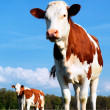 Cow and fresh grass — Stock Photo