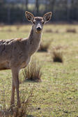 Doe in alert in autumn — Stock Photo