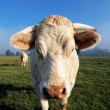 White cow in the morning light — Stock Photo
