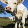 Curious calf — Stock Photo