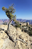 Tree in front of Grand Canyon — Stock Photo