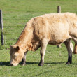 Stock Photo: Cow alone in pasture