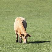 Yeşil mera inek — Stok fotoğraf