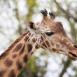 Giraffe — Stock Photo #24037091