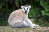 Ring-tailed lemur in forest — Stock Photo
