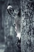 Ritratto di zebra — Foto Stock