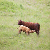 Brown cow and calf — Stock Photo