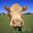 Head of cow — Foto de Stock