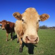 Portrait of cow — Stock Photo