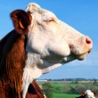 Portrait of cow — Foto Stock