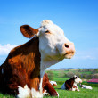 Cow on a green meadow — Foto de Stock