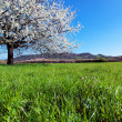 Blossoming tree in spring. — Stock Photo