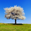 Single blossoming tree in spring. — Stockfoto