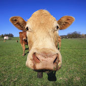 Head of cow — Stock Photo
