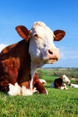 Portrait of cow on a green meadow — Stock Photo