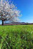 Yeni gelişen ağaç bahar. — Stok fotoğraf