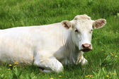 White cow on green grass — Stock Photo