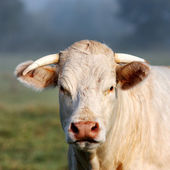 Portrait of young white cow — Stock Photo