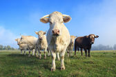 Herd of young white cows — Stock Photo