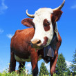 Brown milk cow — Stock Photo