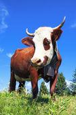 Brown milk cow — Stock Photo