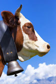 Portrait of Brown milk cow — Stock Photo