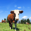 Brown cows in a meadow of grass — Stock Photo