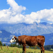 Alpine cow — Foto de Stock