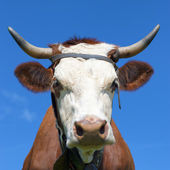 Face of Brown milk cow — Stock Photo