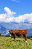 Alpina ko — Stockfoto