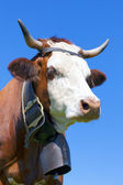 Portrait of Brown milk cow with bell — Stock Photo