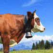 Brown cow in a meadow — Foto Stock