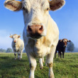 Stock Photo: Cow in morning light