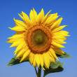 Sunflower — Stock Photo #30908953