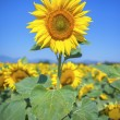 Sunflower field — Stock Photo #30917471