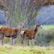 Whitetail fawns — Stock Photo