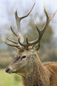 Portrait of wild deer — Stock Photo